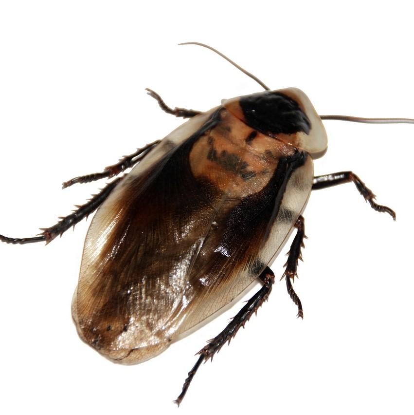 Cockroach Pest Control in Tonbridge