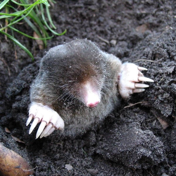 Mole Pest Control in Tonbridge