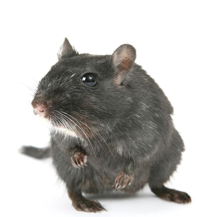 Rodent pest control in Tonbridge