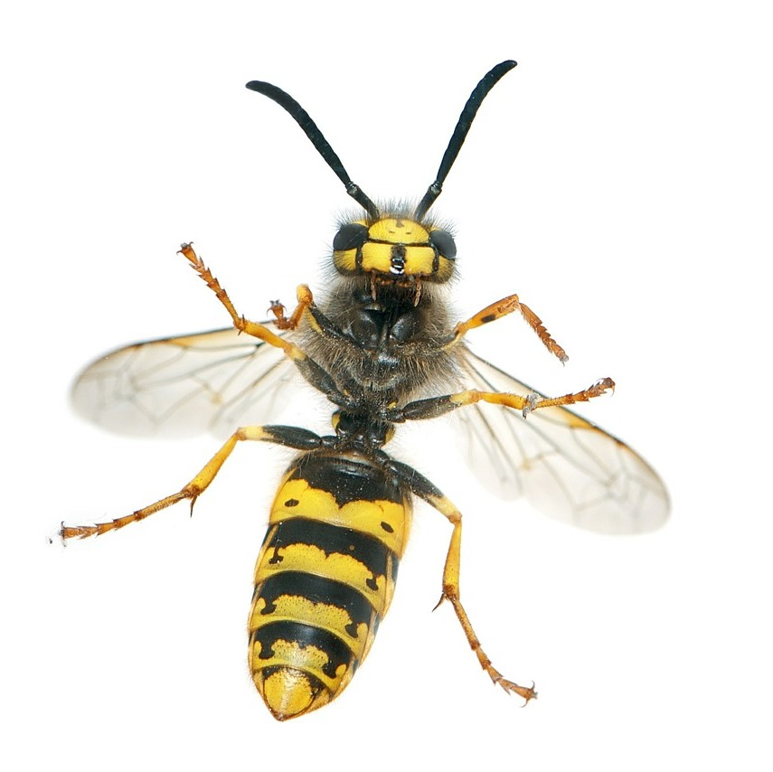 Wasp Nest Removal in Tonbridge